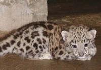 Snow Leopard, San Antonio Zoo